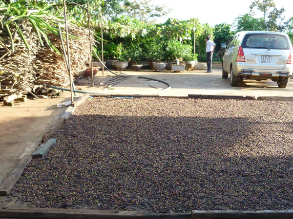 coffee_drying_on_the_concrete_yard